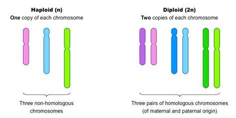 Diploid vs haploid cells youtube jpg 720x363